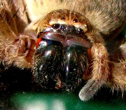 Giant Crab Spider Olios Giganteus